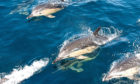 ANTI-PREDATOR: There are concerns about impact of acoustic deterrent devices on whales, dolphins and porpoises.