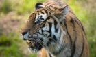 Amur tiger at Highland Wildlife Park. RZSS Media.