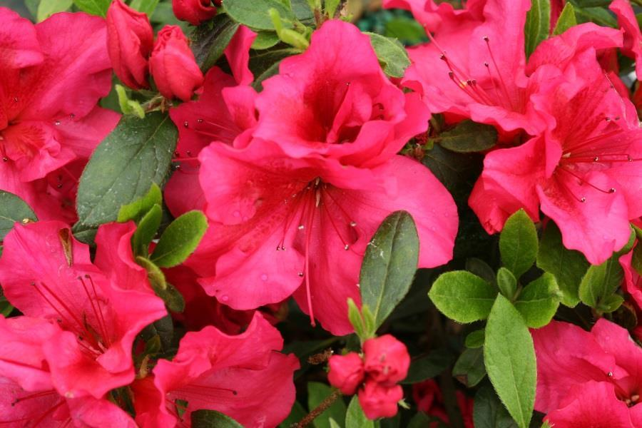 Azalea Bloom Champion Red.