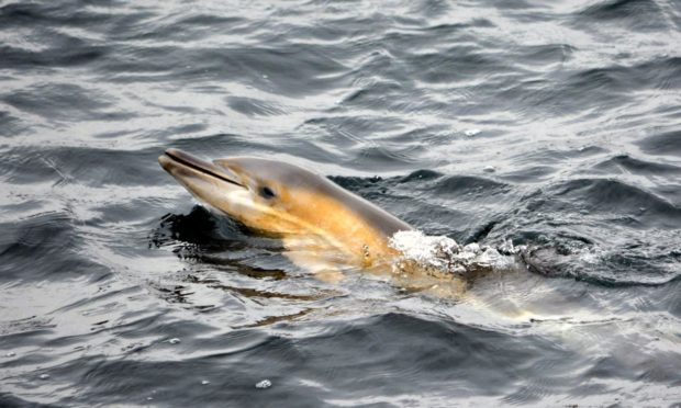 A dolphin was spotted close to shore in Oban Bay.