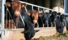 The study found feeding beef cattle seaweed can reduce their methane emissions by more than 80%.