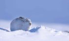 A mountain hare in its winter coat, in the Cairngorms National Park. A new project has been launched to study the animals. Photograph by Lorne Gill.