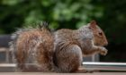 New research underway to trace the steps of urban squirrels. Photo by Nicola Nuttall.