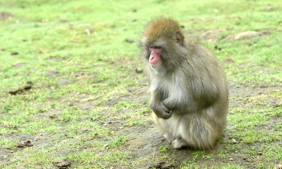 Snow monkeys shelter from the wind.