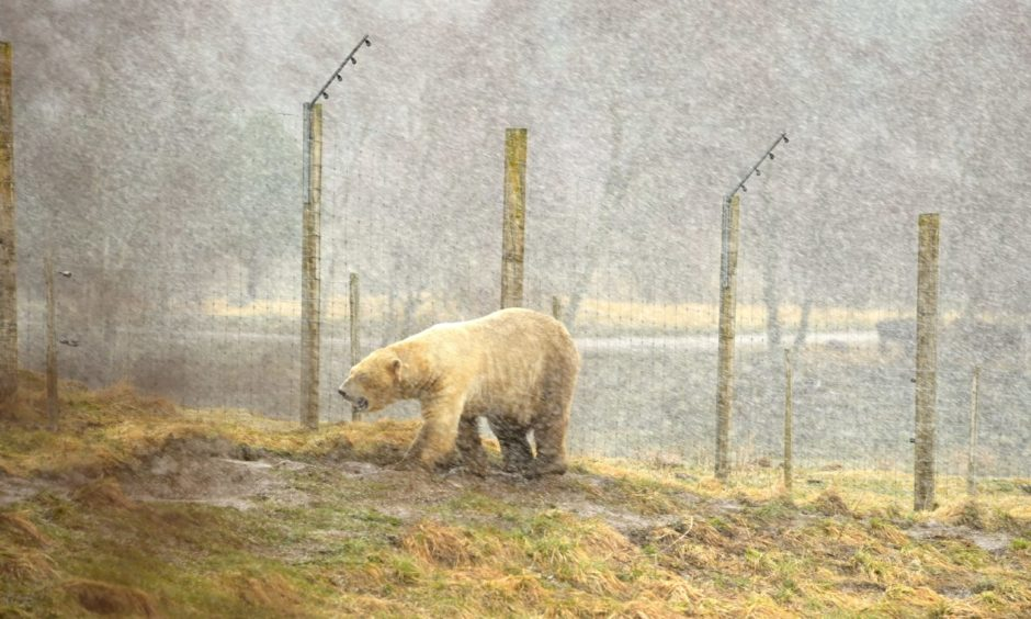 One of the polar bears patrols his enclosure in a shower of snow.