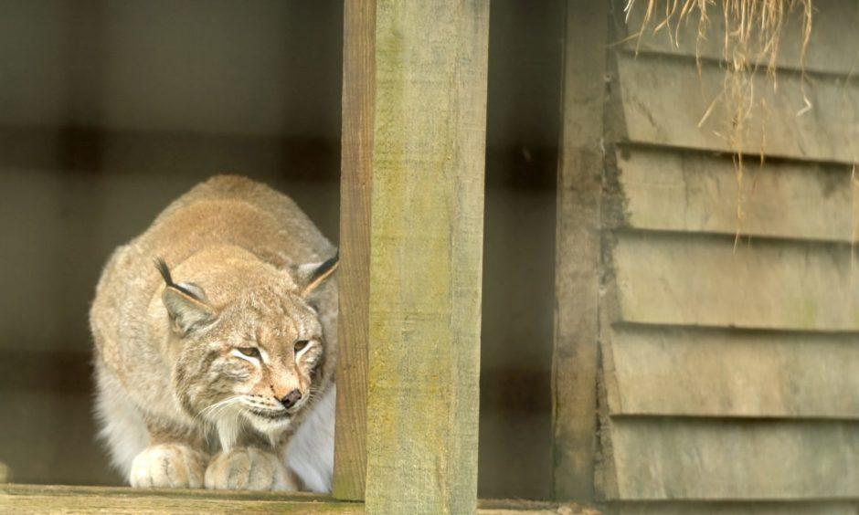 Wildcats.