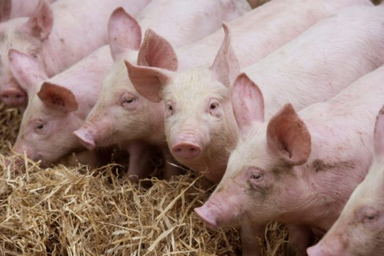 The temporary closure of the Brechin pig abattoir is still causing problems for pig producers.