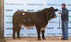 Shorthorn bull Meonside Nidavellir sold for 27,000gn at the Stirling Bull Sales in February.