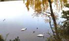 Swans at Aboyne Loch in 2020.