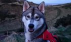Koda the Siberian husky has gone missing in the Highlands.
