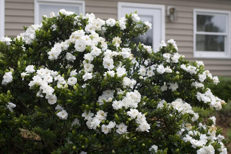 Gardenia Crown Jewel.