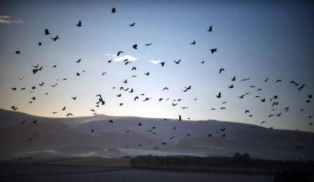Crows fly over a white landscape near Oldmeldrum, Aberdeenshire