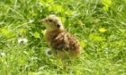 A Capercaillie chick, photograph by Mark Hamblin. Walkers have been urged to exercise caution in pine woodlands to not disturb wildlife