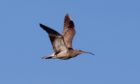 SUMMER VISITOR: Curlews are a welcome sight around Armadale Farm at this time of year. Picture by Joyce Campbell.