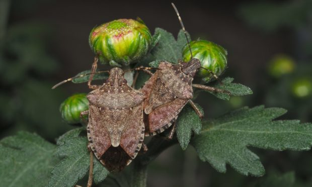 There are concerns the brown marmorated stink bug could thrive in polytunnels..