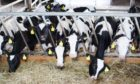 A network of beef and dairy farmers could help retain critical mass for beef production in Scotland.