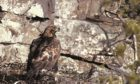 One of the golden eagles in its nest on Hoy.
