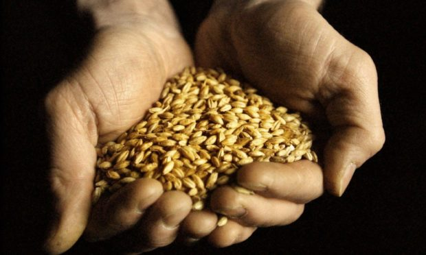 A handfull of barley used to produce the 1.3 million litres of malt whisky distilled annually at the Glenkinchie distillery in  East Lothian.