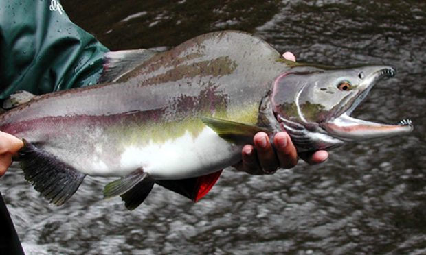 A Pacific pink salmon.