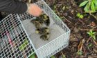 Costin Iliescu and his son Vlad rescued 10 ducklings with the help of the SSPCA from a drain on the A96.