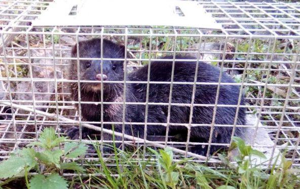 A mink in a Scottish Invasive Species Initiative trap. Image courtesy of Scottish Invasive Species Initiative.