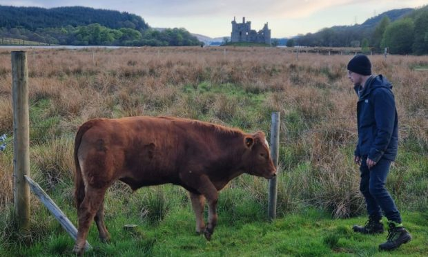 The bull at Kilchurn.