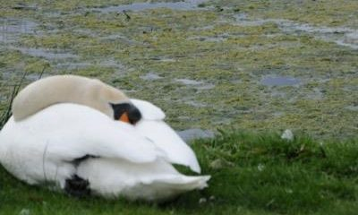 Efforts are ongoing to remove algae build-up at Brodie Castle Duck Pond as heavy concentrations may endanger wildlife.
