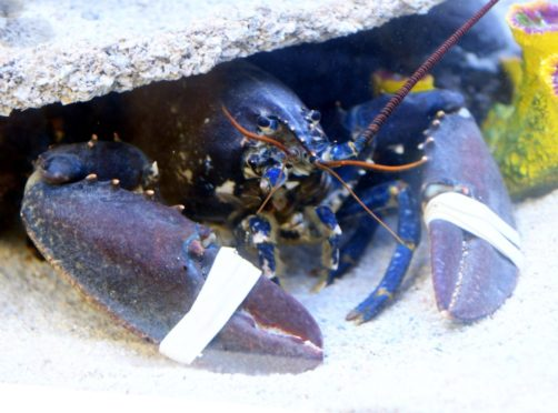 A rare blue lobster was one of the popular exhibits at the Buchanhaven Aquarium