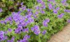 Geranium Johnston's Blue.