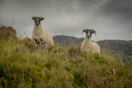 The sheep was found dead at some point between 8pm on May 9 and 5pm on May 10.