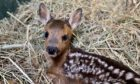 A fawn rescued by the Scottish SPCA.