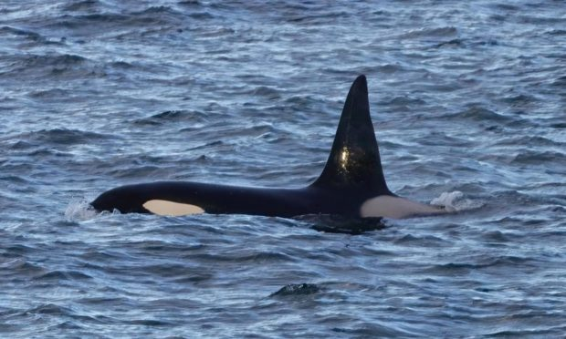 This orca was spotted off Stonehaven last month. Supplied by Nick Collins