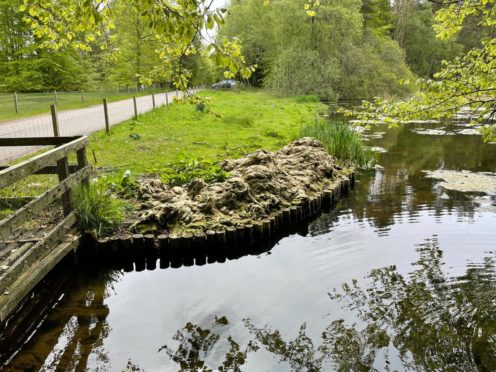 More algae is being raked out of Brodie Castle's duck pond in ongoing efforts to keep it at bay.