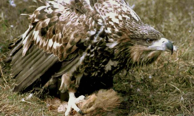 White-tailed sea eagles are misunderstood, writes John Love