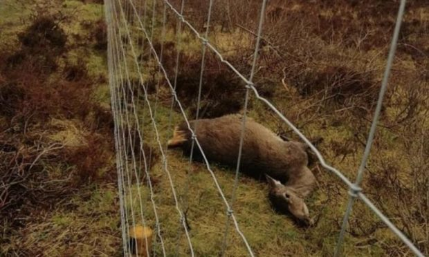 A dead hind with large unborn calf within the fenced scheme at Dunvegan has shocked Skye residents. Gamekeepers fear this type of thing will become normalised if Scottish Government alter the female deer seasons.