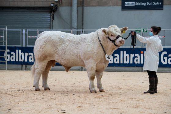 Charolais bull Panmure Pringle sold for 9,500gn.