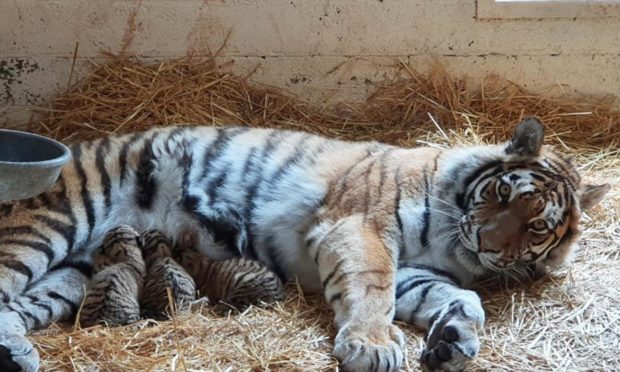 Dominika and her newly-born cubs.