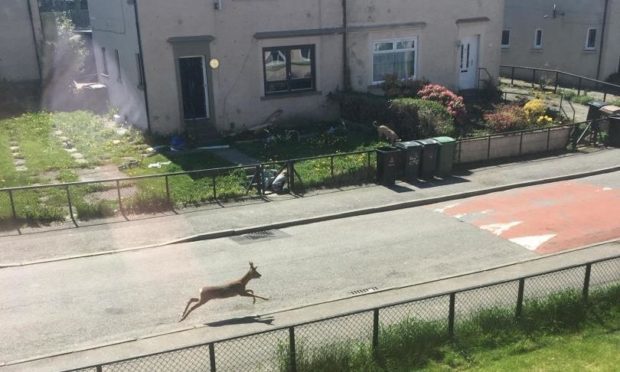To go with story by Lauren Taylor. Deer spotted running along street in Aberdeen Picture shows; Deer running on street in Northfield. Northfield, Aberdeen. Supplied by Michelle Alexander Date; 31/05/2021