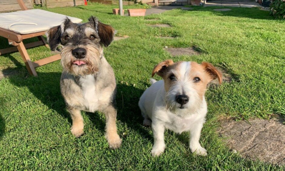 Luna, a miniature schnauzer Jack Russell cross, and Dobby, a long-haired Jack Russell, live with Martha Bailey in Burghead.