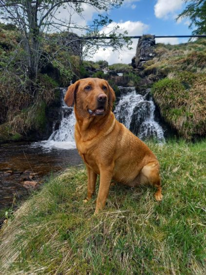 This week's winner Maisie, who lives with Louise and Gordon in Rhynie. Here she is enjoying a walk at Blackwater Lodge.