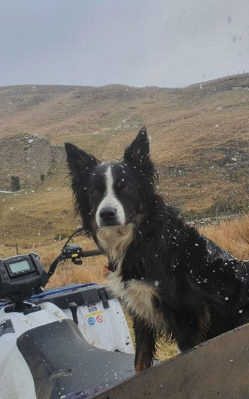 ON ALERT: Sheepdog Charlie on a very unseasonal day during the recent lambing period at Baligill in the north of Sutherland. Picture sent in by William Mackay, Thurso.