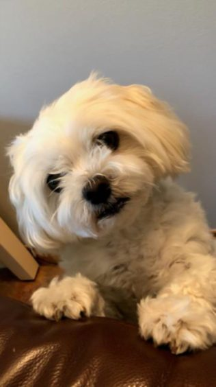 Charlie the Maltese terrier lives with Ian and Barbara Kelman, Kingswells, Aberdeen.