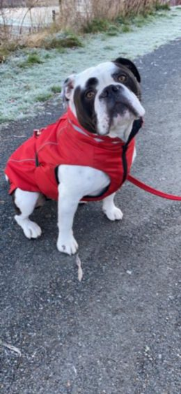 Doesn't Biff, the three-year-old Olde English Bulldog, look stylish in his red jacket? He lives with his owner Susan Warren in Bucksburn, Aberdeen.