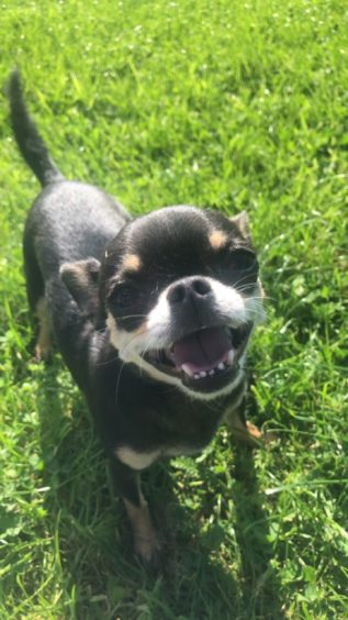 Coco the Chihuahua is all smiles on a walk at Doocot Park in Elgin. Sent in by her owner Samantha Duncan.