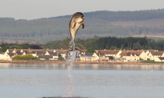 Bottlenose dolphin at Chanonry Point. Supplied by Alister Kemp