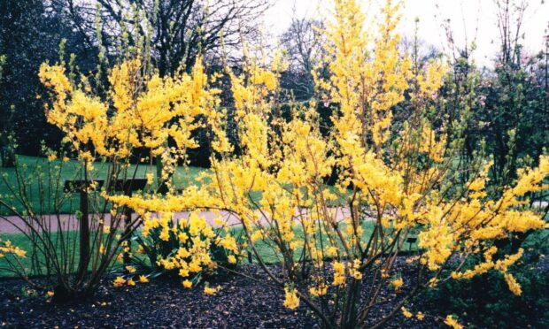 Forsythia – this is variety Lynwood – prune out some shoots after flowering to control height and spread.