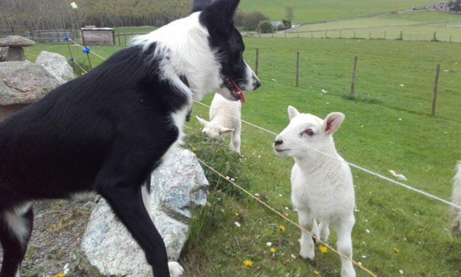Sheepdog Fly, giving a lamb a talking to! Fly lives with Anna Reid, at Premnay, Insch.
