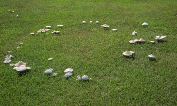 White mushrooms form a circle called a fairy ring on a lawn.
