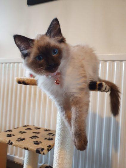 Mischievous kitten Merida lives with Jessica Murphy in Aberdeen.