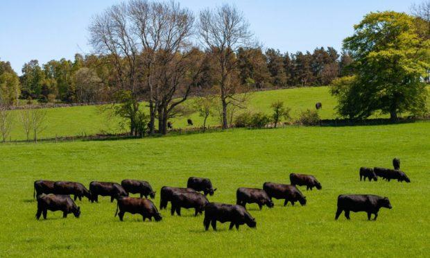 ABERDEEN-ANGUS: The Blelack herd will be sold in October.
